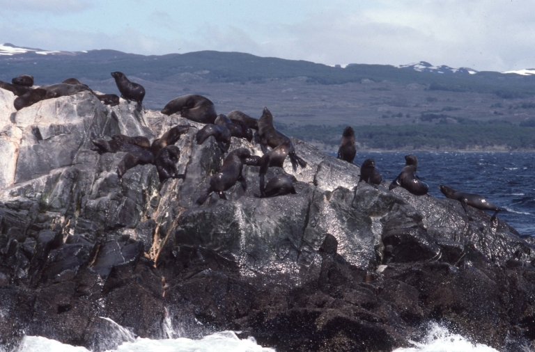 Beagle Channel-Sea Lions 2