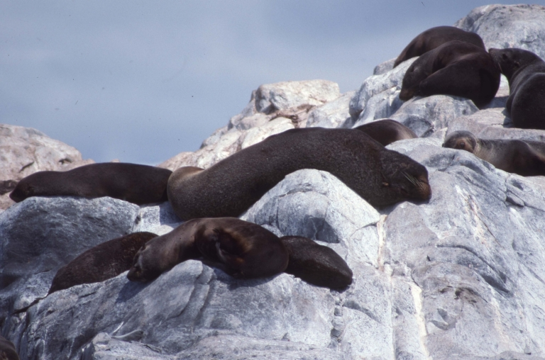 Beagle Channel-Sea Lions 4
